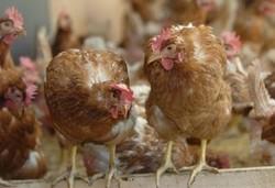 Un avion de chasse fait mourir de peur 4800 poules