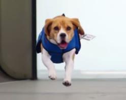 KLM recrute un chien pour retrouver les propriétaires d'objets perdus (Vidéo)